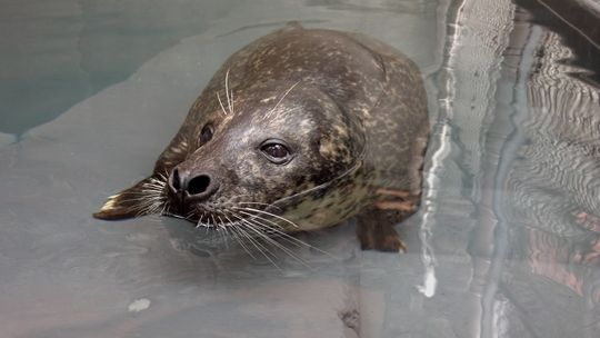 Luke, who is a 35-year-old harbor seal, can be seen at the National Zoo's American Trail exhibit. (Photo: Courtesy of Smithsonian's National Zoo)