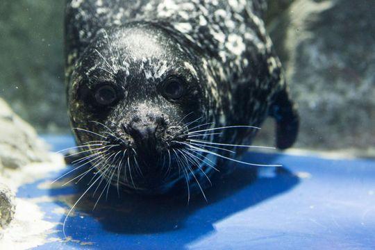 Arizona seal from OdySea called to duty in Washington, D.C.