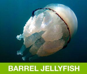 BarrelJellyfish