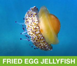 FriedEggJellyfish