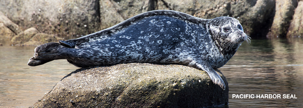 PacificHarborSeal-pic