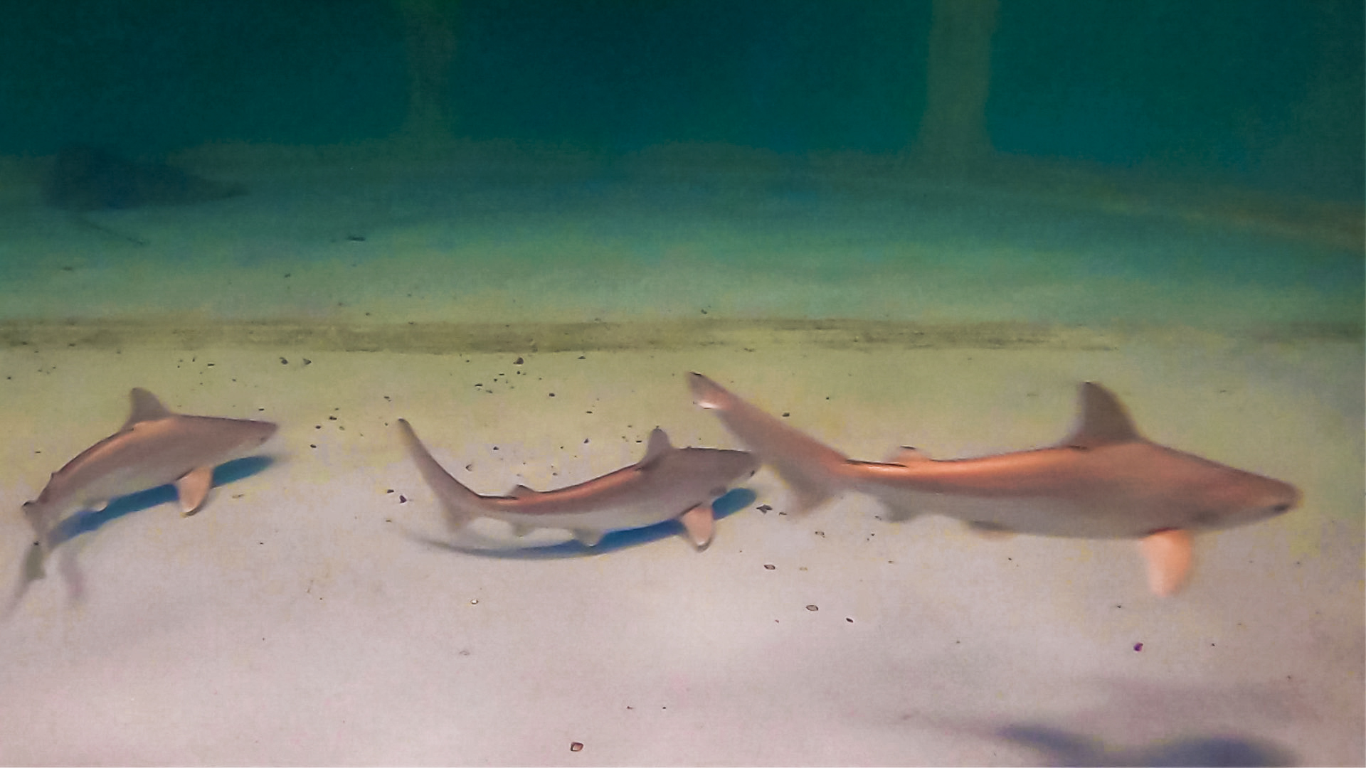 OdySea Aquarium Celebrates Sandbar Shark Births