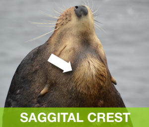 SaggitalCrest