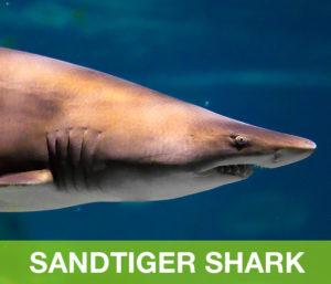 Sandtiger-shark