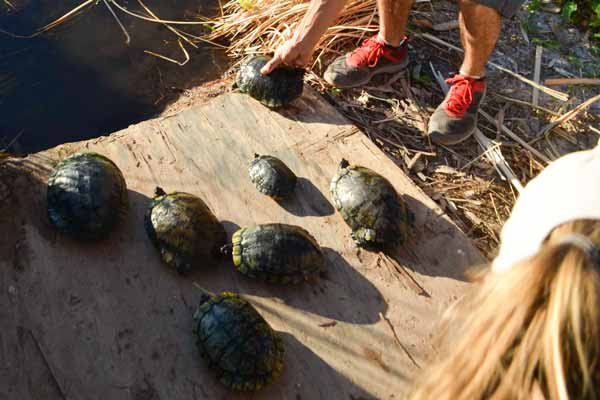 Turtles Collected